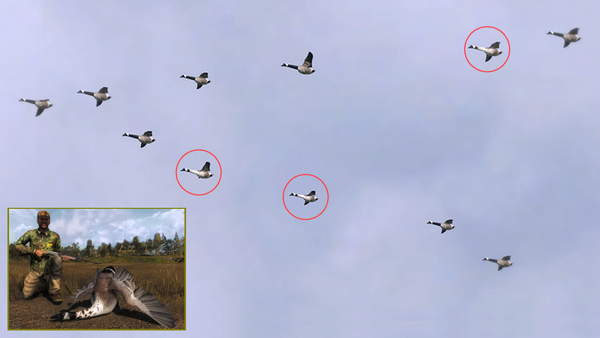Columbo three leucistic geese