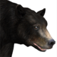 Black bear male common v1
