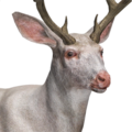 Mule deer male albino