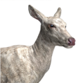 Red deer female albino