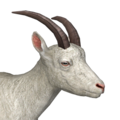 Alpine ibex female albino
