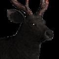 Sambar deer male melanistic