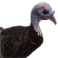 Turkey female common
