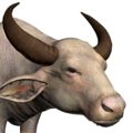 Water buffalo male albino