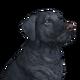 Labrador retriever black male
