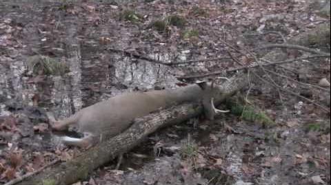 Whitetail Deer Hunting, Buck Kill 2011, NY