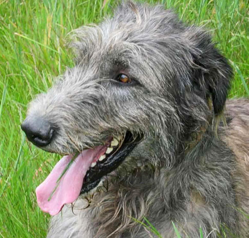 File:Wolfhound.jpeg