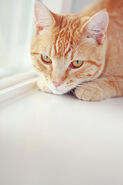 Orange-tabby-cat-on-white-window-sill-kellie-parry-photography
