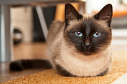 Siamese-cat-catalin-pomeanu