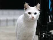 White-Cat-Face-Wallpaper-HD