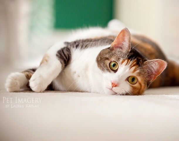 File:Calico-cat 4155150.jpg