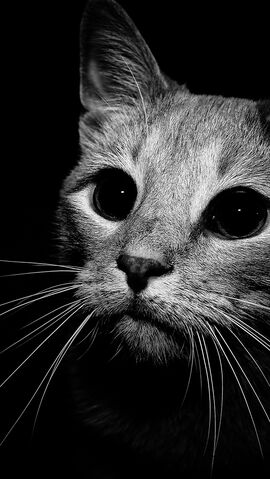 Image Cat Black White Iphone Wallpaper Via Eyesofodysseus