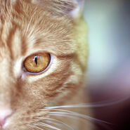 Orange-tabby-cats-golden-eye-photo-by-corinne-boutin
