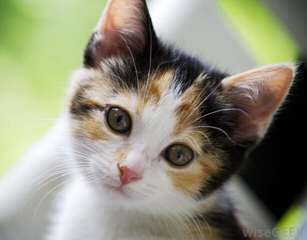 File:Young-calico-cat.jpg