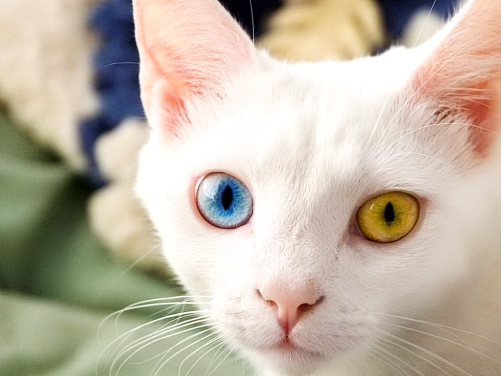 Image - White-persian-cat-with-blue-eyes.jpg   Thekittycat ...  White Cat With Dark Blue Eyes