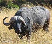 Африканский-буйвол-48x buv3