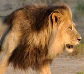 Lionanimal