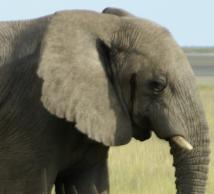 Elephantanimal