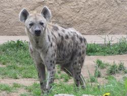 Hyena-rl