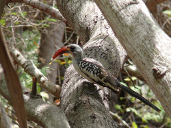 Red-billed Hornbill