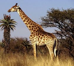 Giraffestanding