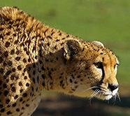 Cheetahanimal