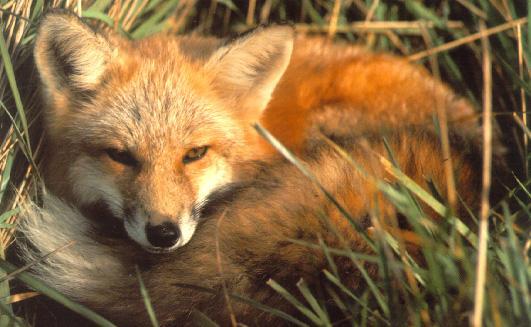 File:Fox01.jpg