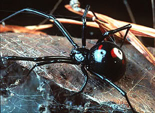 File:Blackwidow.jpg