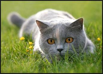 Cat-CatGreyLyingInGrassLooking02