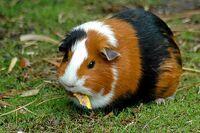Guinea pig 1-759711