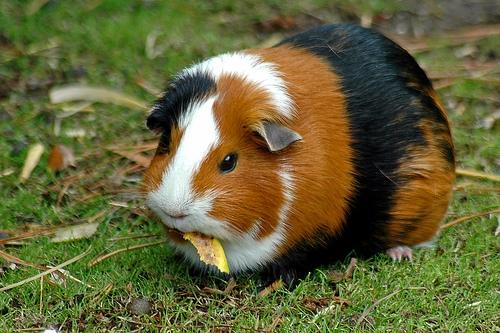 File:Guinea pig 1-759711.jpg