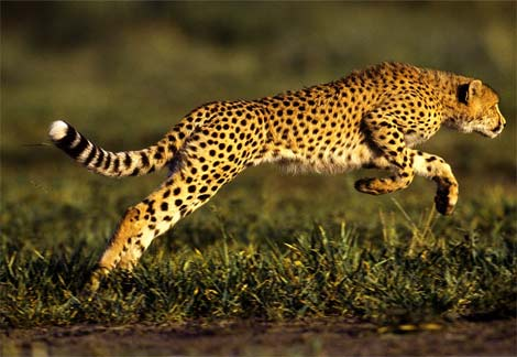 Cheetah-leaping