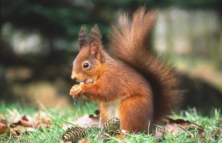 File:Red squirrel.jpg