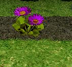 Purple Fairy Ring Flower
