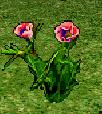 Love Lies Bleeding Flower