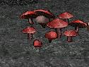 Devils Death Dance Mushroom