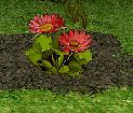 Old Kings Folly Flower