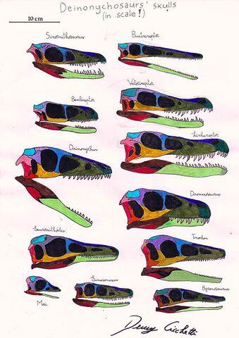File:Deinonychosauria skull comparison.jpg