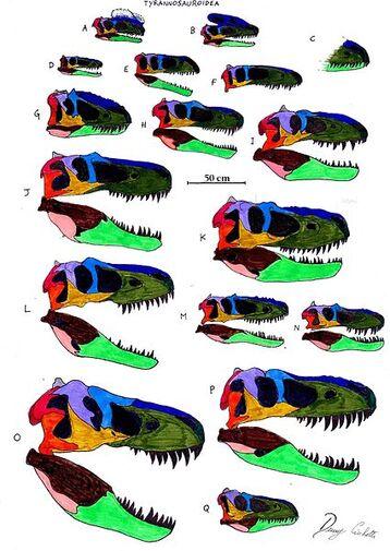 Tyrannosauroidea skull comparison