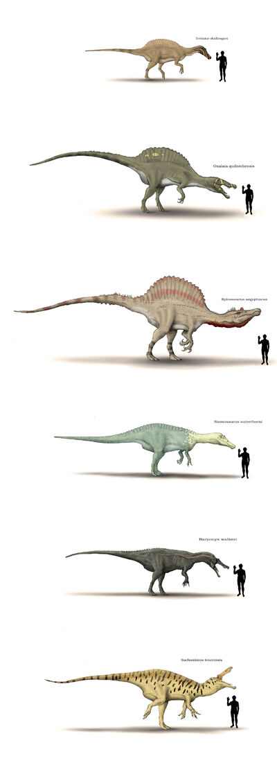 Spinosauridae size shart by hyrotrioskjan-d3hjudi