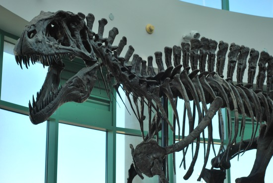 File:Acro skeleton.jpg