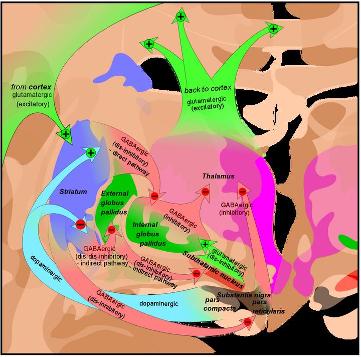 Basal ganglia circuits1