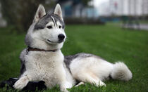 Siberian-huskies-with-blue-eyes-pictures