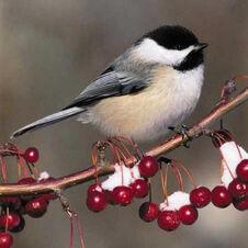 Chickadee-wintershot.thumbnail