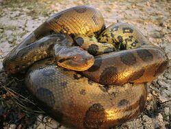 Anaconda 446 600x450