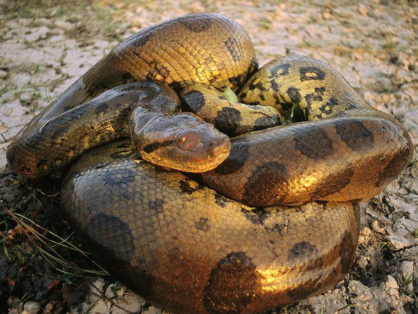 File:Anaconda 446 600x450.jpg