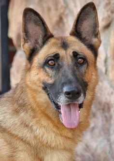 File:E06fd54982845475889e4eb4bd9c6ca0--german-shepherd-rescue-shepherd-dogs.jpg