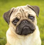 Pup Weezy