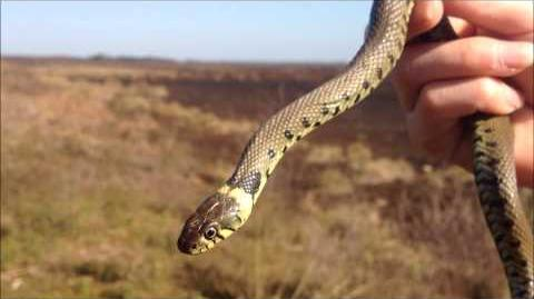 Grass Snakes and Mating Adders - April 2012