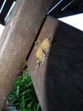 Common Marbled Crpt.JPG